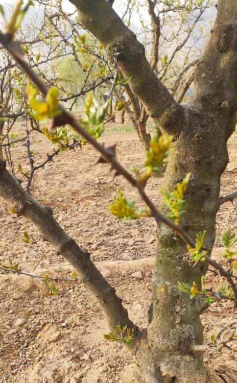 花椒木虽然不是最贵的木材,但是最健康的木材.png