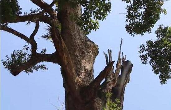 世界上最贵的树,一根分支居然卖了40万,得知原因让人惊讶不已.jpg