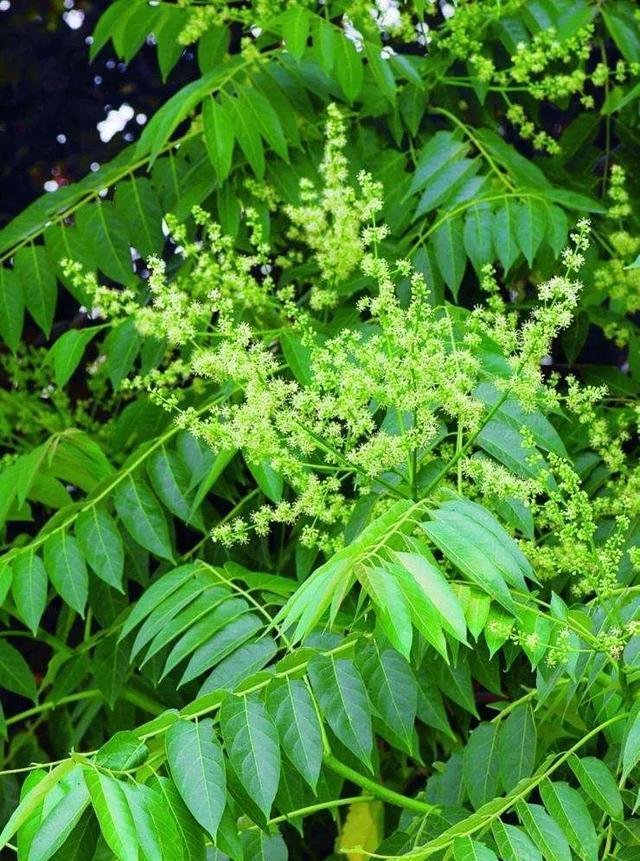 农村常见的臭椿树,有什么样的用途?.jpg