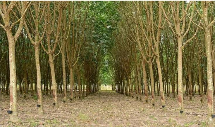 国家储备林项目为泓森槐带来发展新机遇.png