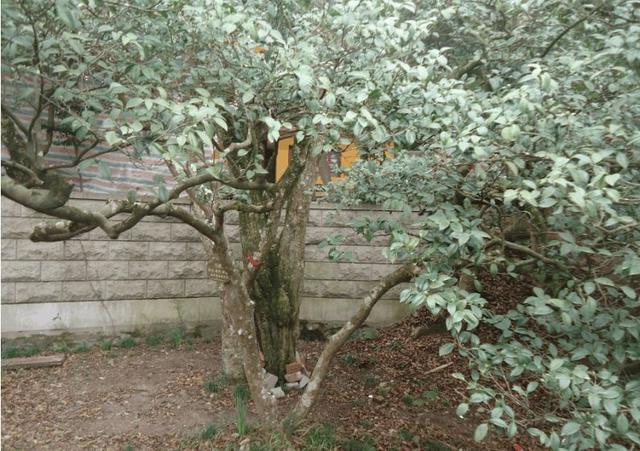 全球仅剩的一棵树——普陀鹅耳枥.jpg