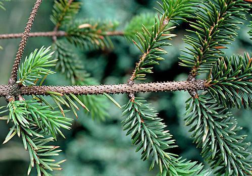 云杉和冷杉有哪些区别,该怎么区分