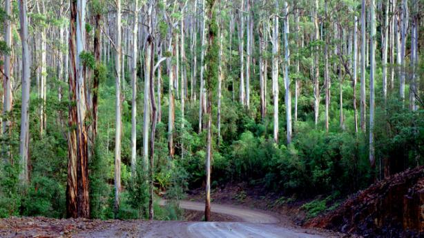 塔斯马尼亚州干燥桉树林介绍