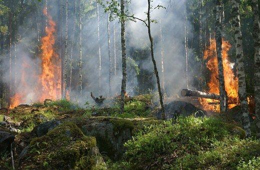 新州从受火灾影响的原始森林中选择性采伐木材