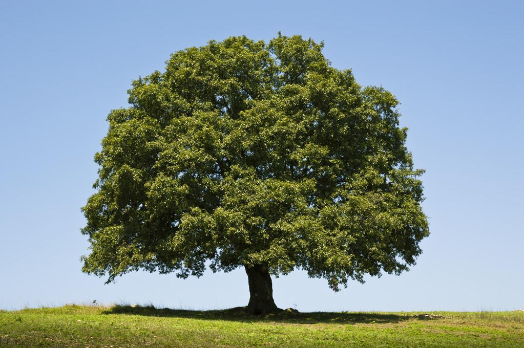 """""""流泪的树""""橡木"""